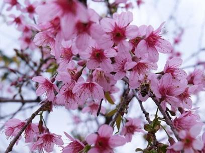 """樱花烂漫正当时!冬日南宁的这个地方藏着一抹""""春"""""""