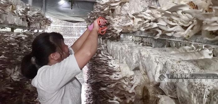 宜州:多措并举 促进桑枝食用菌产业提质增效