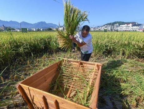 美丽乡村举办稻田趣味运动会