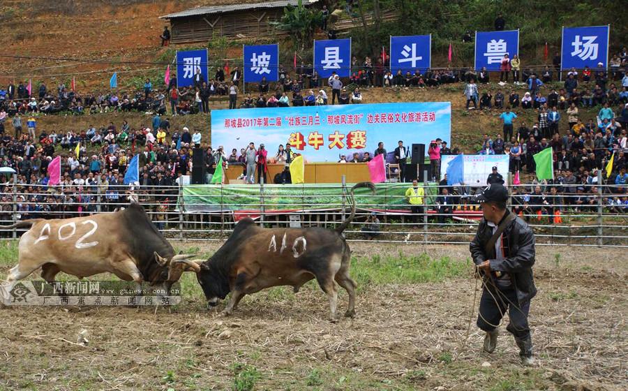 那坡斗牛比赛吸引数千群众观看(组图)