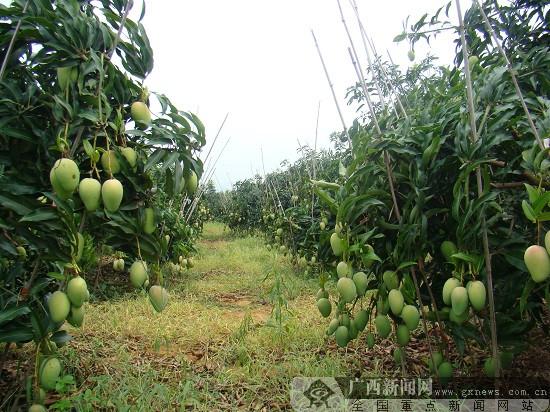 百色世华:芒果种植坚持生态之路