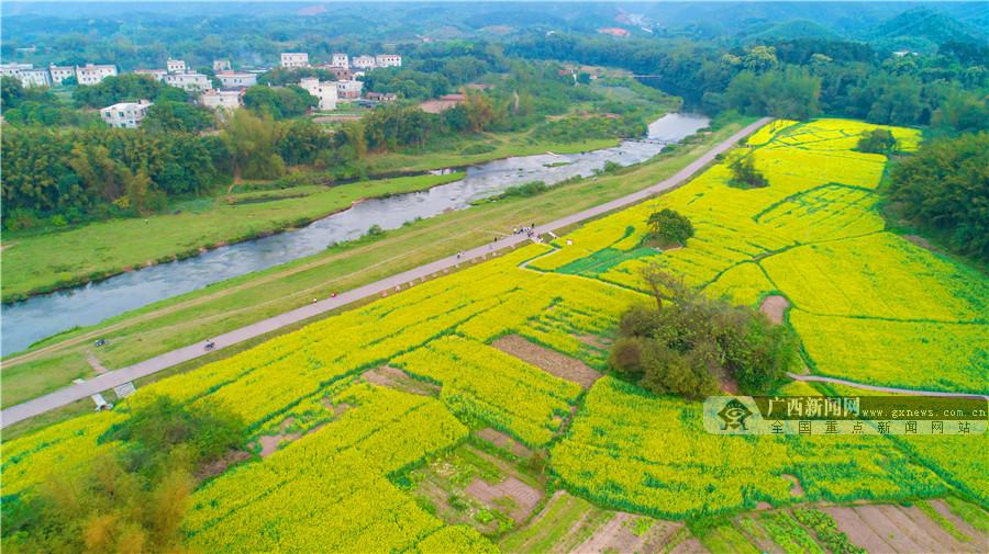 春游钦北:这些地方的油菜花美成一幅画