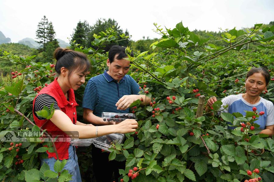 """南丹种植""""黑钻石""""树莓拓宽群众致富路(组图)"""