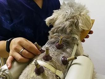 高清组图:针灸拔罐也能给宠物治病
