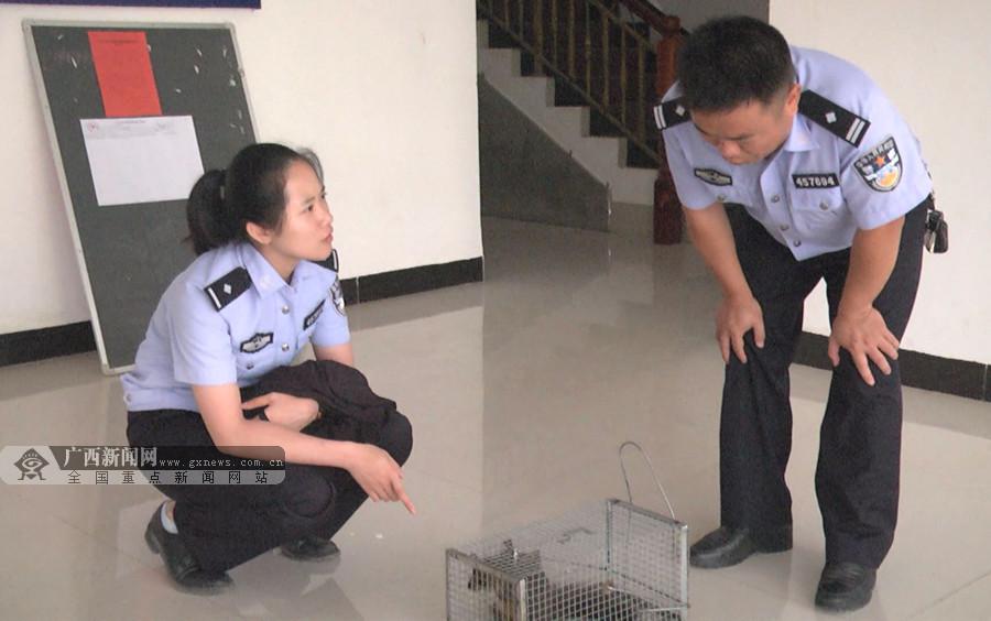"""凤山发现广西重点保护动物""""飞虎"""" 已放归自然(图)"""