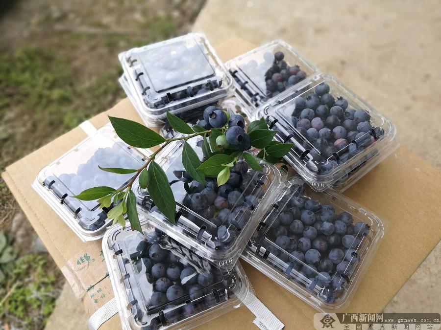融水白云乡举办蓝莓节 丰收硕果助村民脱贫致富