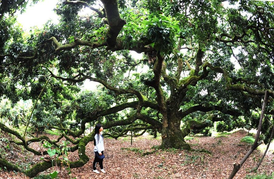29日焦点图:灵山850岁古荔枝树年产果约1000公斤