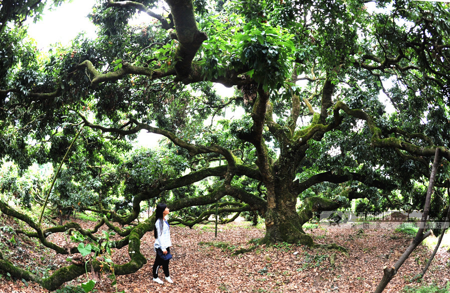 6月29日焦点图:灵山850岁古荔枝树年产果约1000公斤
