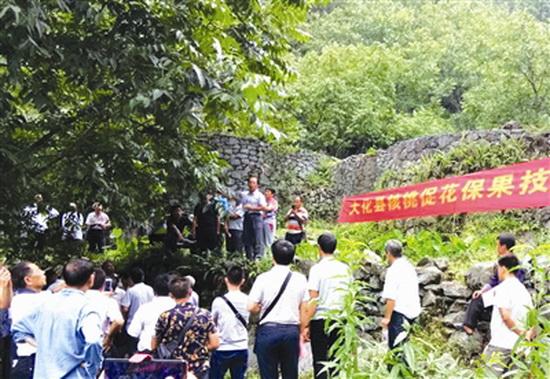大化组织100人共赴凤山考察学习核桃产业发展