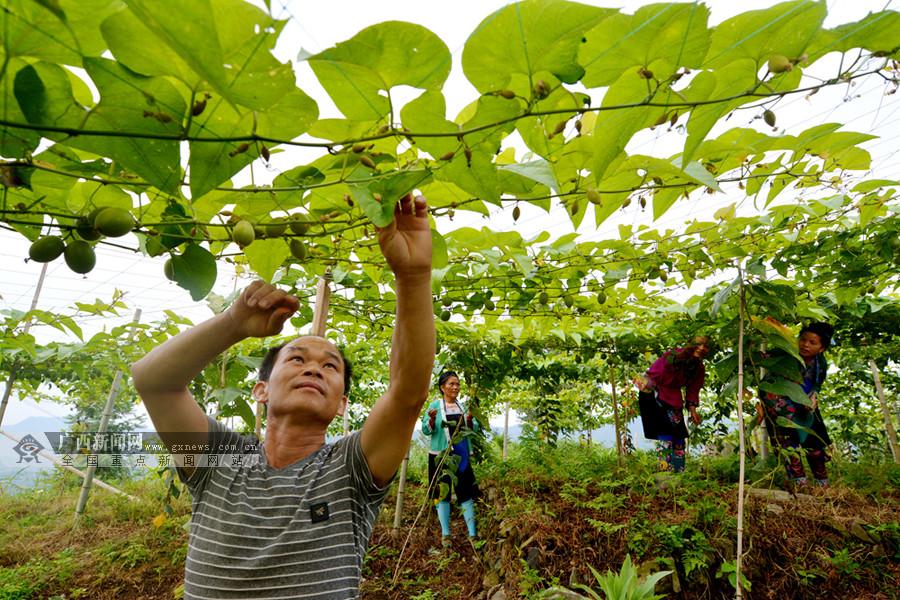 三江发展罗汉果种植 助农户脱贫增收(组图)