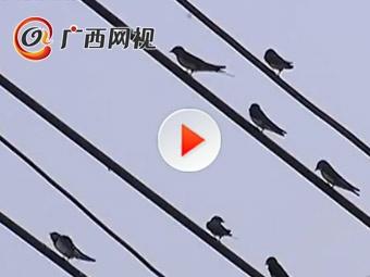 壮观!蒲庙老街电线聚集万只燕子