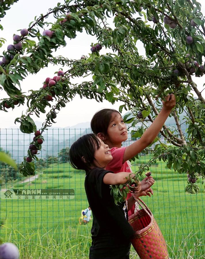 高清组图:南丹珍珠李成熟在即 硕果挂满枝头