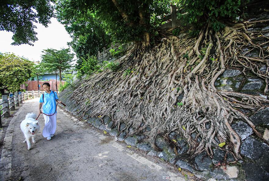 """南宁:""""树坚强""""扎根古城墙 根系发达撑破墙体(图)"""