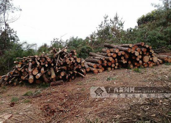 贺州破获特大滥伐林木案 男子出逃三个多月后落网