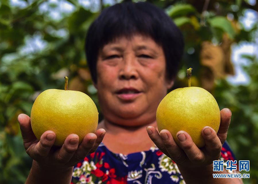 河北农民喜摘早熟梨