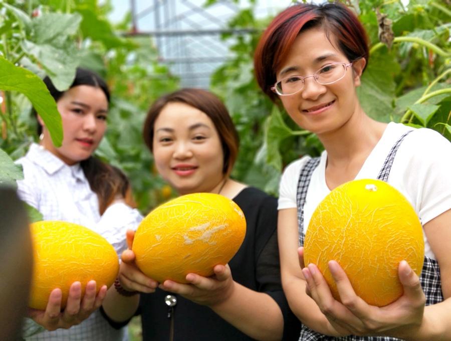 龙胜哈密瓜陆续成熟 引进新产品带动农民增收致富