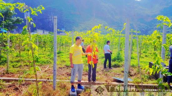 农行凌云县支行积极支持百香果产业发展