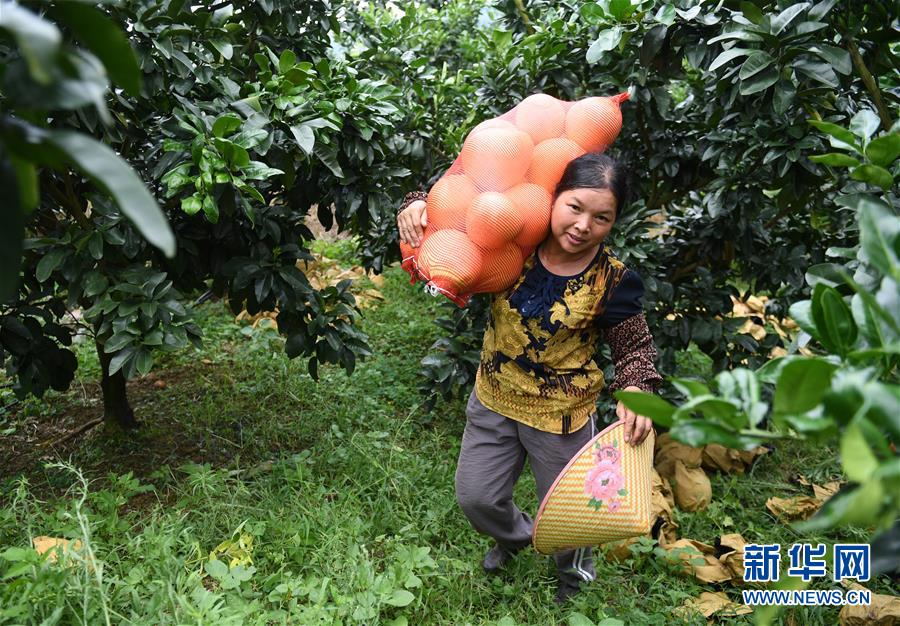 广西武宣:柚子收获助增收