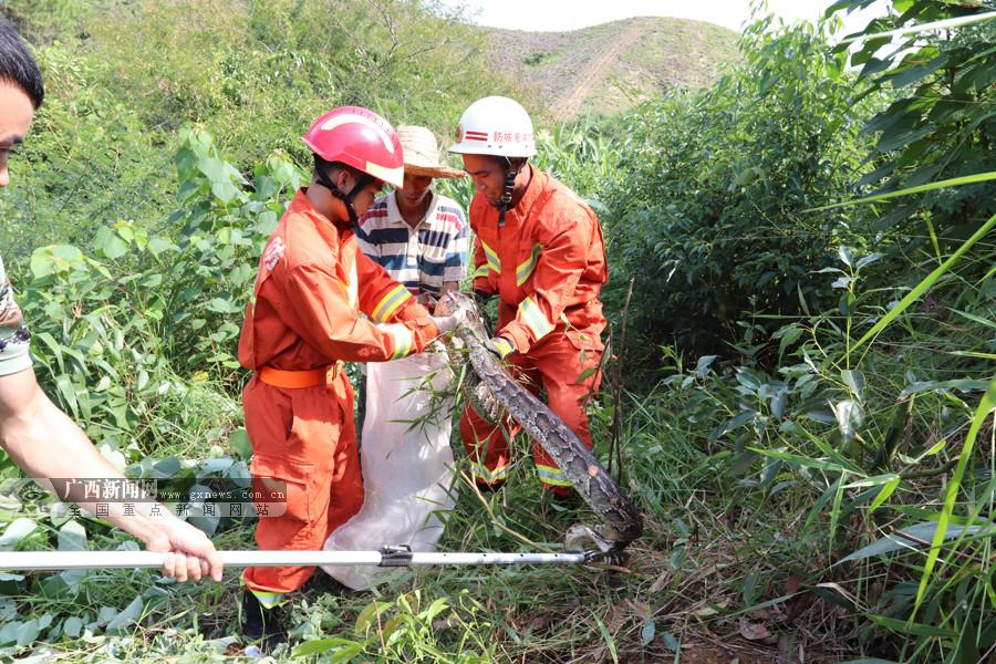 2米长20斤重蟒蛇现身半山坡草丛里 村民求助(图)