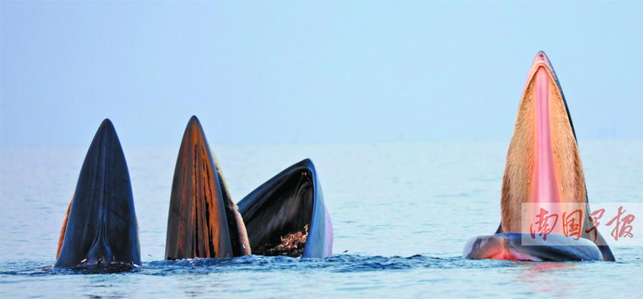 9月25日焦点图:北海涠洲岛海域3头鲸鱼张开大嘴捕食