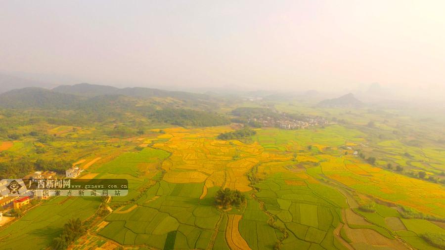 高清:金秋调色板 融安县3万亩晚稻即将成熟