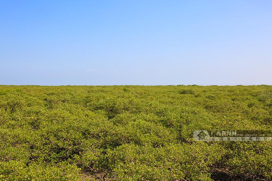 【风从海上来】探访北海金海湾红树林生态保护区