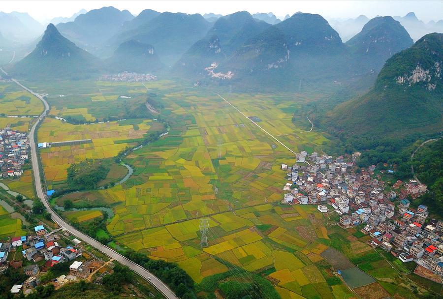 高清:田野遍地金黄 罗城8万多亩晚稻成熟