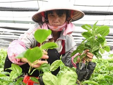 钦州:发展水果种植 助力脱贫攻坚
