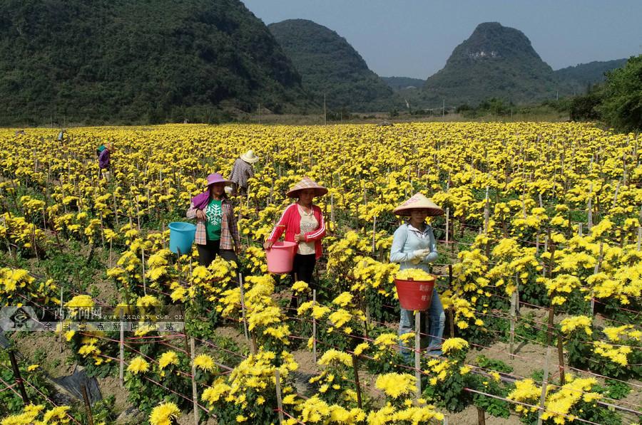 柳州融安发展金丝皇菊种植助贫困户脱贫致富(图)