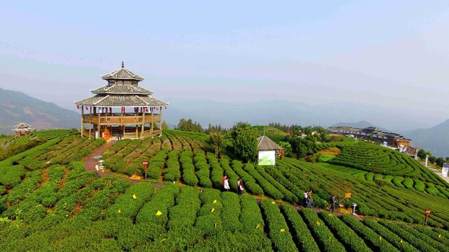 柳州三江:茶旅融合助脱贫(组图)