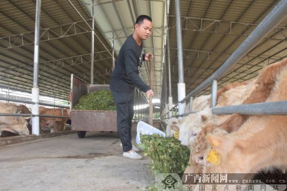 防城肉牛养殖基地发挥扶贫大作用
