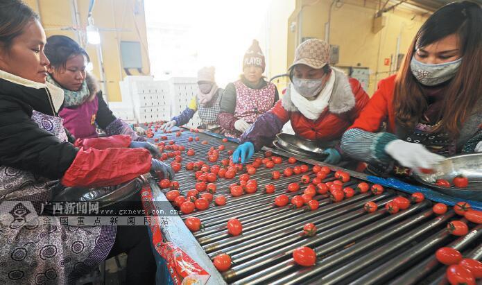 """田阳:小番茄撬动大产业 """"红宝石""""助摘帽(组图)"""