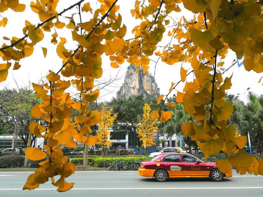 12月23日焦点图:柳州东环大道沿路的银杏树叶黄了