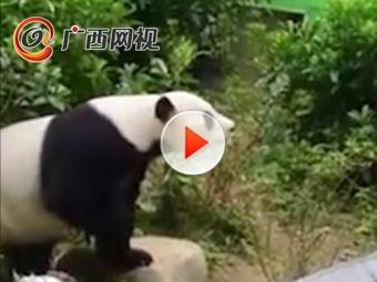 """海归大熊猫""""明浜""""庆生 现场吃冰""""蛋糕""""撸串"""