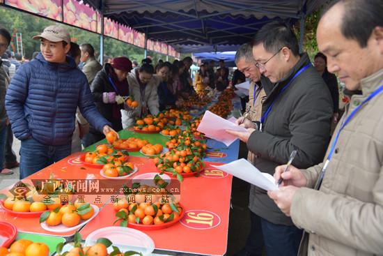 环江举办沃柑砂糖橘节 柑橘产业带动群众脱贫致富