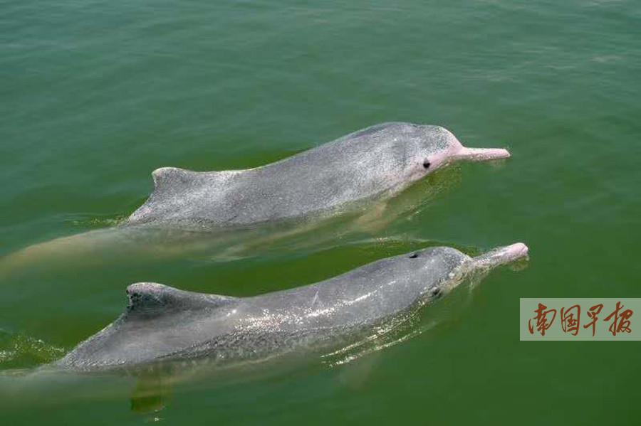 2月11日焦点图:春节钦州三娘湾海面现大量中华白海豚
