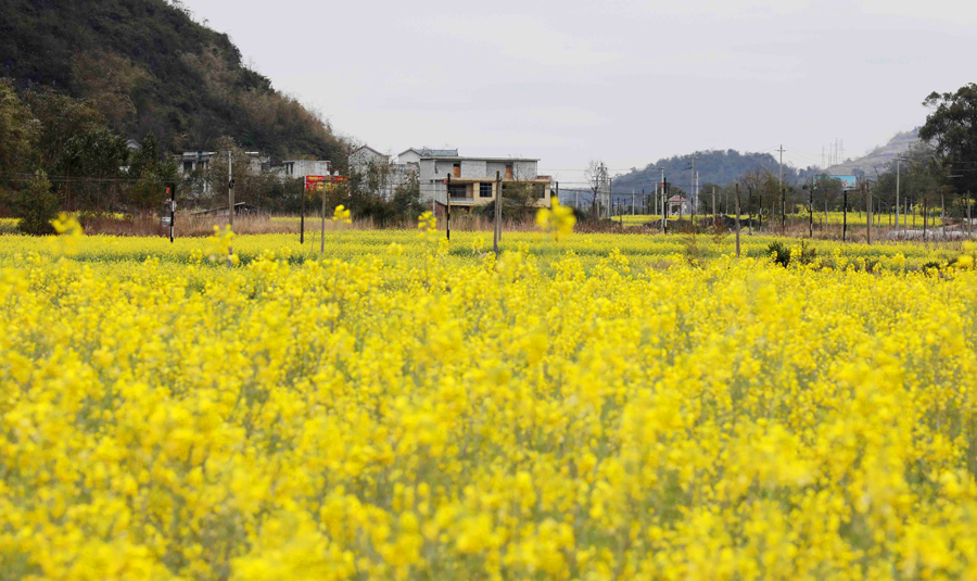 高清:柳州融安县3万余亩油菜花迎春开放