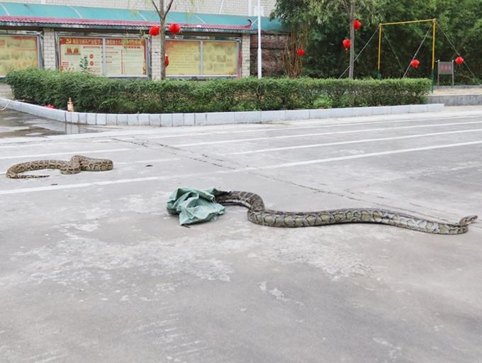 高清图集:东兴一广场附近草丛惊现两条大蟒蛇
