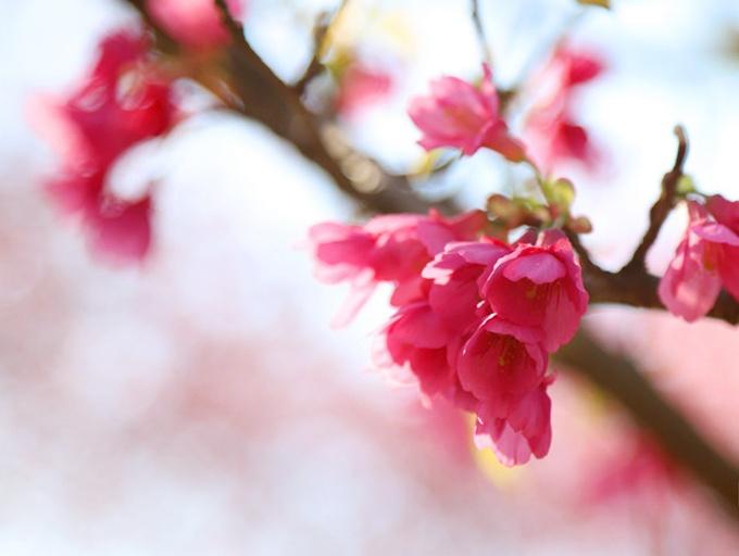 ?#36136;?#19968;年赏樱季 南宁石门森林公园¡°披¡±粉色花裳