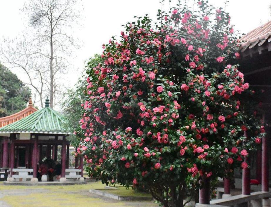 梧州蒙山天未暖花先开 桃花不畏寒冷相继开放(图)