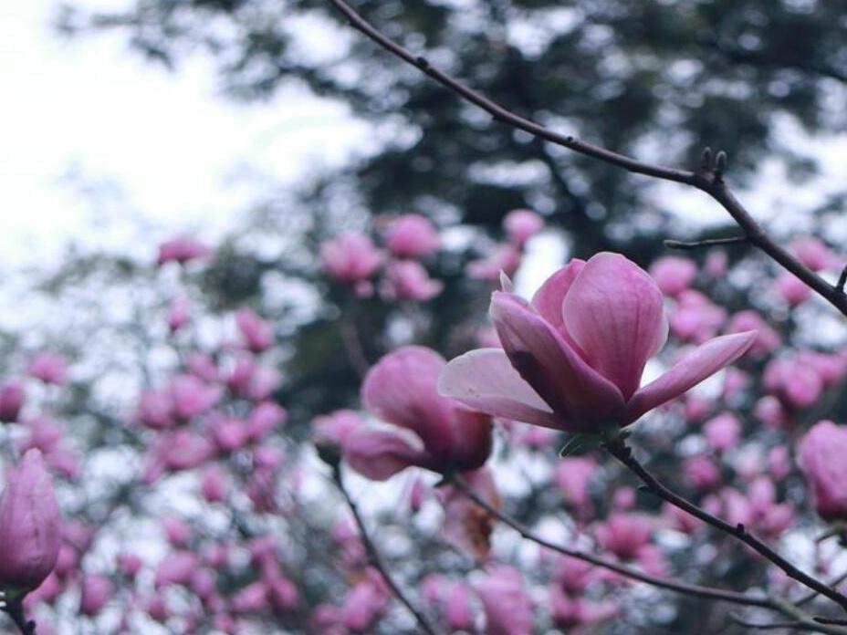 高清:柳州玉兰花寒冷中绽放 市民不要错过花期