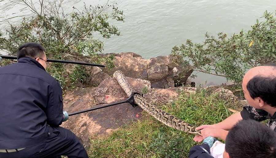 大腿般粗!防城港惊现2条大蟒蛇 村民吓出一身冷汗