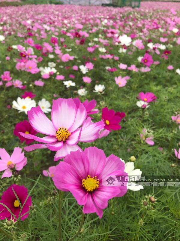 【新春走基层】钦州格桑花盛开吸引众多游客