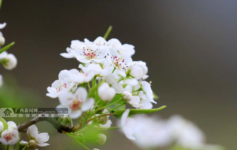 高清:气温回升春意浓 柳州融安李花迎春开放