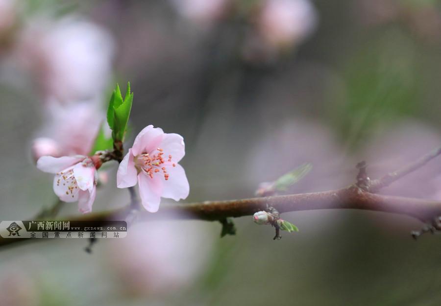 高清图集:春意盎然 融安东起乡桃花渐次开放