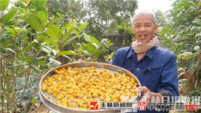 """博白70多歲的""""土專家"""",20年如一日,精心培育兩萬多株金花茶"""