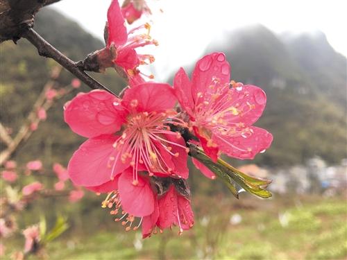 南宁周边赏花攻略 让你的赏花照片惊艳朋友圈(图)