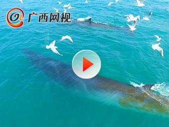 广西新闻网独家发布涠洲岛鲸群最新活动视频