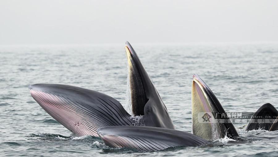 高清:直击北海涠洲岛鲸群 鲸鱼个体识别已超20头