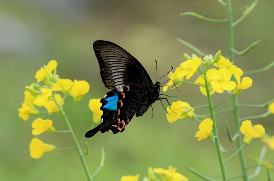 高清?#21917;?#23433;鲜花迎春开蝴蝶蜜蜂花中舞